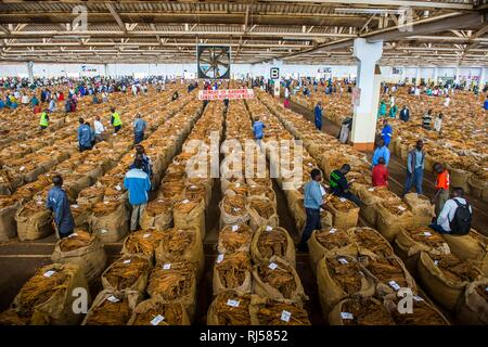 Local workers between huge bags with dried tobacco leaves in a hall on a Tobacco auction, Lilongwe, MalawiTobacco auction - Stock Photo
