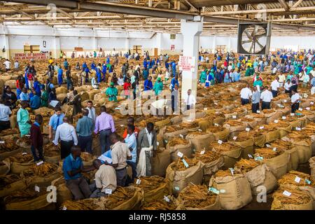 Local workers between huge bags with dried tobacco leaves in a hall on a Tobacco auction, Lilongwe, Malawi - Stock Photo