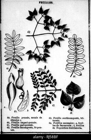 . Cours élémentaire de botanique et flore du Canada à l'usage des maisons d'éducation [microforme]. Botanique; Plantes; Botany; Plants. ^â¢^ w â s r il h fe I tmm^mmmtmm PLANCHE X. fmmmtmâk. lei^o tt C9Litb J^ontreaL. Please note that these images are extracted from scanned page images that may have been digitally enhanced for readability - coloration and appearance of these illustrations may not perfectly resemble the original work.. Moyen, J. (Jean), 1828-1899. Montréal : G. E. Desbarats - Stock Photo
