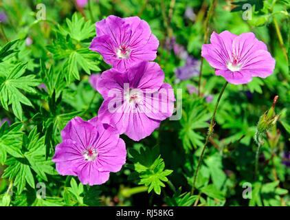 Bl?hendes Geranium, auch Blut-Storchschnabel, als Bodendecker im fr?hsommerlichen Blumengarten. - Stock Photo
