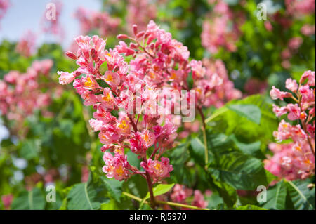 Aesculus red blossom cluster on green blurred leaves background, lush red flowers on tree detail, Photo taken in Poland, Warsaw in spring season, May  - Stock Photo