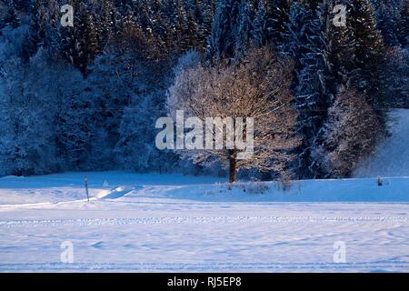 Winterbaum am Waldrand im Abendlicht - Stock Photo