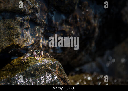 Little crab on rock of pathway to the chaples of st. Nikolaos in Georgioupoli, Crete - Stock Photo