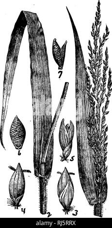 ". Grasses of North America [microform] : chapters on the physiology, composition, selection, improving and cultivation of grasses, management of grass lands, also chapters on clovers, injurious insects and fungi. Grasses; Forage plants; Graminées; Plantes fourragères. F""v «J. Please note that these images are extracted from scanned page images that may have been digitally enhanced for readability - coloration and appearance of these illustrations may not perfectly resemble the original work.. Beal, W. J. (William James), 1833-1924. New York : H. Holt - Stock Photo"