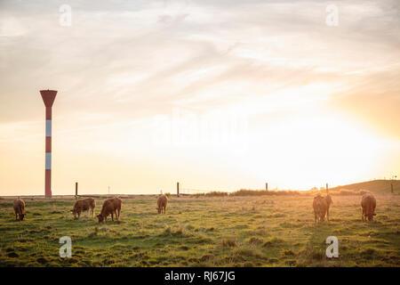 Europa, Deutschland, Niedersachsen, Hadeln, Otterndorf, Weidende Kühe am Außendeich bei Sonnenaufgang - Stock Photo