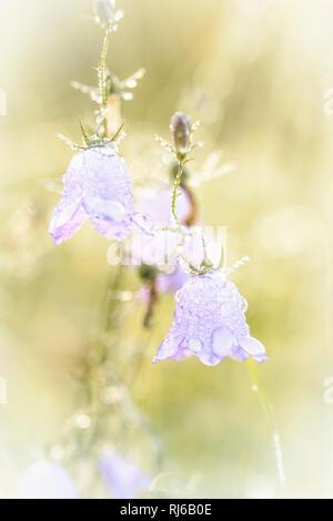 Bluebells, Glockenblumen mit Wassertropfen am Morgen - Stock Photo