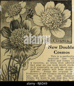 . Childs' rare flowers, vegetables and fruits. Commercial catalogs Seeds; Nurseries (Horticulture) Catalogs; Seeds Catalogs; Flowers Catalogs; Vegetables Catalogs; Fruit Catalogs; John Lewis Childs (Firm); Commercial catalogs; Nurseries (Horticulture); Seeds; Flowers; Vegetables; Fruit. Primula Verticellata New Hardy Abyssinian Primrose. This beautiful hardy perennial is as hardy as any of the English Prim- roses or Polyanthus and-much more beautiful and im- posing-. It also grows very freely and quickly from seed. Plants produce stocks bearing whorls of light yellow flowers, which are of good - Stock Photo