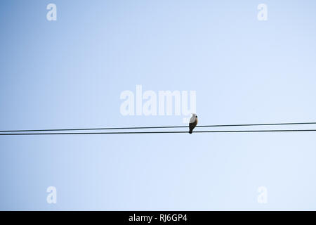 A migrating bird sitting on an electric cable. Bird sitting on electric wire in city background. - Stock Photo