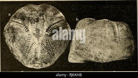 . EÌchinodermes. Echinodermata. ;{(â¢) lAlNi: DE IHANCi:. liCllIMilHiHMElS n'existe pas d'ophic. ; les globif, ont les valvçs plus allongées que chez ce dernier.. FiG. 94. â Echinocardium mediten-aneum, X - ! 3» f^ce dorsale ; b, vue latérale. L'fi. medïter7'anenm osl surloul connu en Méditerranée où il n'est d'ailleurs pas très cornmnn. Je l'ai rencontré sur les i)lages de Foz (Bouches-du-Rhône) et de Saint-RaphaÃ«l (Var) où il vit à une faible prof. ; il est connu à Nice, sur nos côtes d'Algérie, à Naples, etc. Dans rAtlanti(]iu' il n'a encore été recueilli (pi'au cap Sagres  - Stock Photo