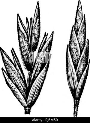 . Grasses of North America [microform] : the grasses classified, described and each genus illustrated, with chapters on their geographical distribution and a bibliography. Grasses; Forage plants; Graminées; Plantes fourragères. . Please note that these images are extracted from scanned page images that may have been digitally enhanced for readability - coloration and appearance of these illustrations may not perfectly resemble the original work.. Beal, W. J. (William James), 1833-1924. New York : H. Holt - Stock Photo