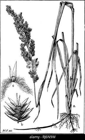 . Grasses of North America [microform] : chapters on the physiology, composition, selection, improving and cultivation of grasses, management of grass lands, also chapters on clovers, injurious insects and fungi. Grasses; Forage plants; Graminées; Plantes fourragères. Fio. 69.. Please note that these images are extracted from scanned page images that may have been digitally enhanced for readability - coloration and appearance of these illustrations may not perfectly resemble the original work.. Beal, W. J. (William James), 1833-1924. New York : H. Holt - Stock Photo