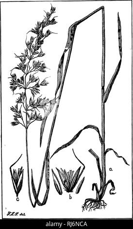 . Grasses of North America [microform] : chapters on the physiology, composition, selection, improving and cultivation of grasses, management of grass lands, also chapters on clovers, injurious insects and fungi. Grasses; Forage plants; Graminées; Plantes fourragères. Fio. 04.. Please note that these images are extracted from scanned page images that may have been digitally enhanced for readability - coloration and appearance of these illustrations may not perfectly resemble the original work.. Beal, W. J. (William James), 1833-1924. New York : H. Holt - Stock Photo