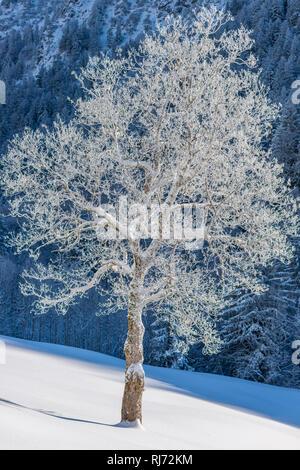 Bergahorn (Acer pseudoplatanus), Gerstruben, ein ehemaliges Bergbauerndorf im Dietersbachtal bei Oberstdorf, Allgäuer Alpen, Allgäu, Bayern, Deutschla - Stock Photo