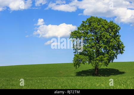 Ein gesunder Baum in grüner Landschaft, - Stock Photo