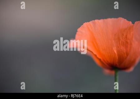 Klatschmohn, Papaver rhoeas, Blüte, Nahaufnahme, freigestellt - Stock Photo