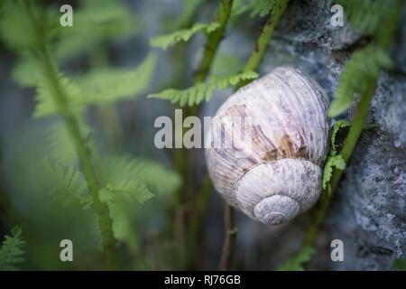 Weinbergschnecke an einem Stein, Helix pomatia, Freistellung, - Stock Photo