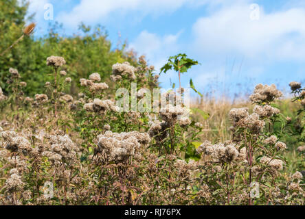Creeping Thistle (Cirsium arvense) plant in seed growing in Autumn in the UK. - Stock Photo