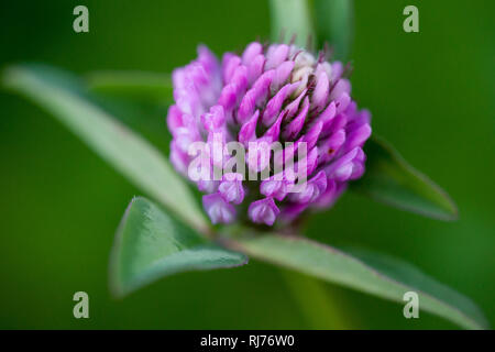 Close up of pink red clover flower in green blurred background - Stock Photo