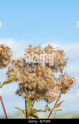 Creeping Thistle (Cirsium arvense) plant in seed growing in Autumn in the UK, portrait vertical with copy space. - Stock Photo