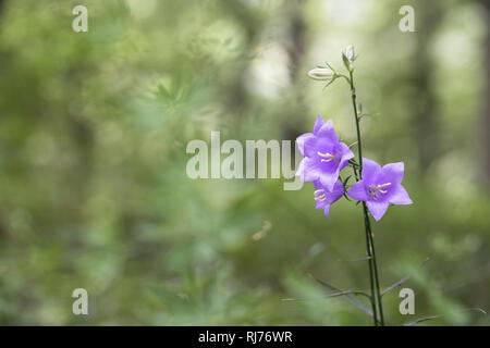 Rundblättrige Glockenblume, Campanula rotundifolia, Gangolfsberg, Hohe Rhön, Rhön-Grabfeld, Bayern, Deutschland, - Stock Photo