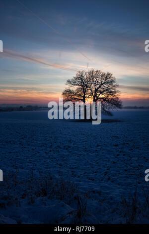Eichen (Quercus robur) auf einem Feld, Winter, Abenddämmerung, - Stock Photo