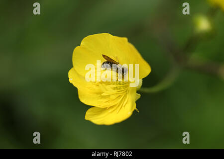 Buttercup flowers and Bee - Stock Photo
