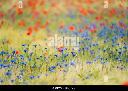 blaue Kornblumen mit rotem Mohn im Getreidefeld