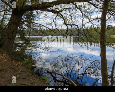 View through trees on the shore of Virginia Water Lake and clouds reflected in the lake, Berkshire, southeast England, UK, on a spring day in April - Stock Photo