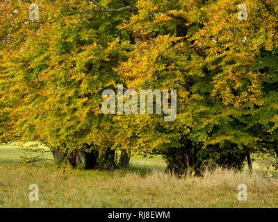 Deutschland, Bayern, Naturpark Bayrische Rhön, UNESCO-Biosphärenreservat, Naturschutzgebiet Lange Rhön, Hainbuchen im Herbstlaub