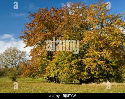 Deutschland, Bayern, Naturpark Bayrische Rhön, UNESCO-Biosphärenreservat, Naturschutzgebiet Lange Rhön, Buchen im Herbstlaub