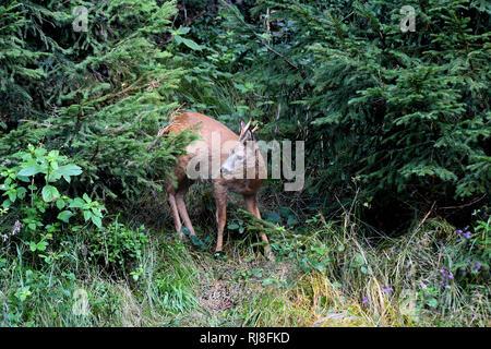 Reh im Wald - Stock Photo