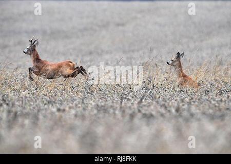Rehe im Getreidefeld - Stock Photo