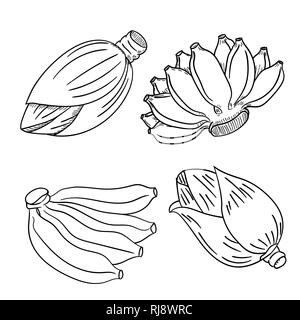 Set of banana fruit and banana flower blossom hand drawn style, for coloring book, education and foot concepts-Vector Illustration - Stock Photo