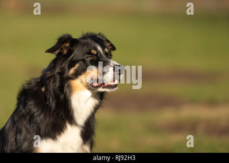 Border Collie dog portrait. Proud dog ist sitting in front of green background - Stock Photo