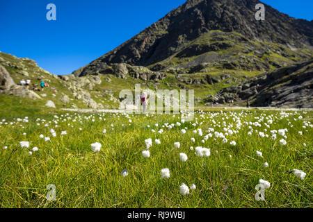 Österreich, Tirol, Stubaier Alpen, Neustift, Wanderer in einer Wollgraswiese im Hochmoor 'Paradies' auf dem Stubaier Höhenweg - Stock Photo