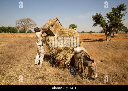 Yarsi village, Yako, 1st December 2016; Dem Moussa, from the village, collecting hay for livestock feed. - Stock Photo