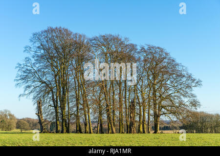 A Copse of mature beech trees set in rolling English Countryside in the Cotswolds in Winter sunshine - Stock Photo