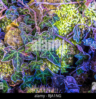 Close up of frosted ivy on a wall with leaves out lined by ice crystals - Stock Photo