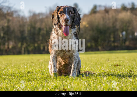 Brown and white springer spaniel sat on the grass in the park. - Stock Photo