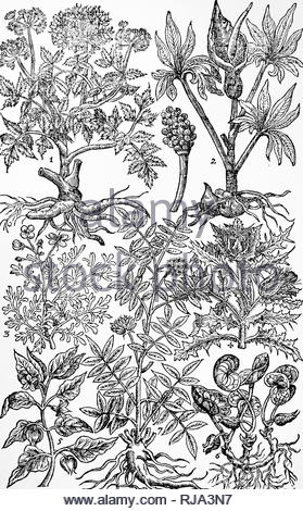 Engraving depicting Norwegian angelica, commonly known as garden angelica, wild celery, and Angelica archangelica, is a biennial plant from the Apiaceae family, a subspecies of which is cultivated for its sweetly scented edible stems and roots. From John Parkinson's 'Paradisi in Sole Paradisus Terrestris'. John Parkinson (1567-1650) an English herbalist and botanist. Dated 17th century - Stock Photo