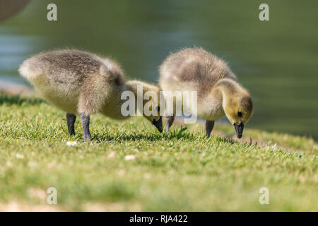 Cygnet standing on the green grass. Softly blurred green background. - Stock Photo