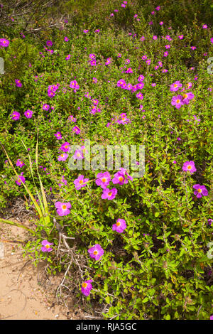 Rock roses grow on dunes in Greece - Stock Photo