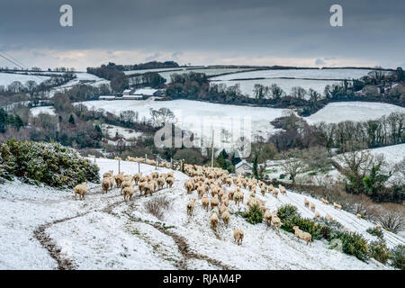 A cold winterly scene across beautiful Cornwall. Rolling hilly farmland covered in snow with a large flock of 'in lamb' sheep searching for grass. - Stock Photo
