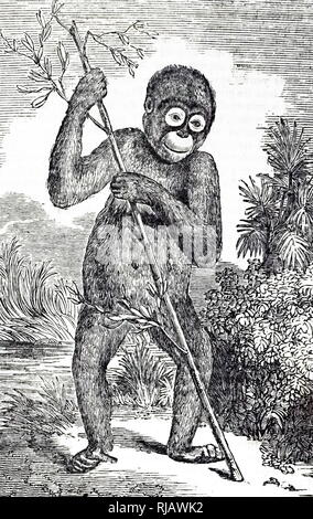 An engraving depicting an Orangutan. The orangutans are three extant species of great apes native to Indonesia and Malaysia but are currently only found in the rainforests of Borneo and Sumatra. Dated 19th century - Stock Photo