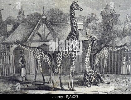 An engraving depicting the four giraffes of the Royal Zoological Society's Gardens, Regent's Park, London. Dated 19th century - Stock Photo