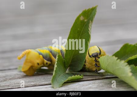 Raupe eines Totenkopfschwärmers im fünften und gleichzeitig letzten Stadium auf einem Holunderzweig. - Stock Photo