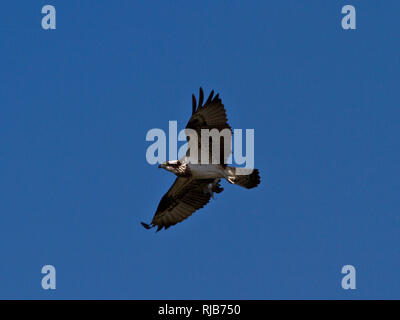 An Osprey in flight over the lakes in Selous Game Reserve. Though many Osprey migrate from EurAsia there is a resident population that migrate locally - Stock Photo