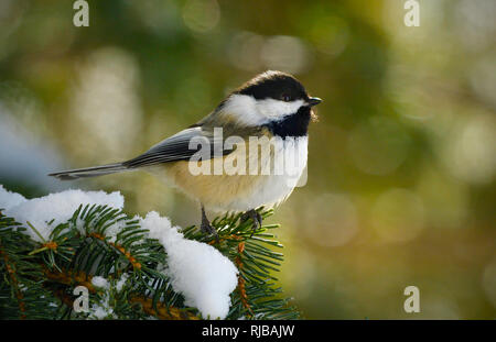 A side view of a wild Black-capped chickadee  'Parus gambeli', perched on a spruce tree branch in rural Alberta Canada. - Stock Photo