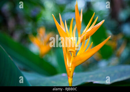 Heliconia psittacorum spatho circinata 'Golden Torch' within the Tropical Botanical Garden on the Big Island of Hawaii. - Stock Photo