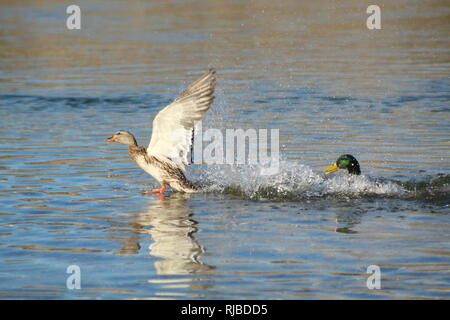 Mallards fighting on the Colorado River - Stock Photo